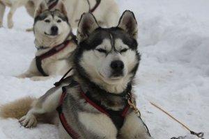 Przejażdżki psimi zaprzęgami